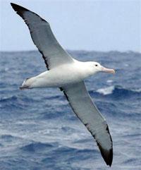 Albatross_200
