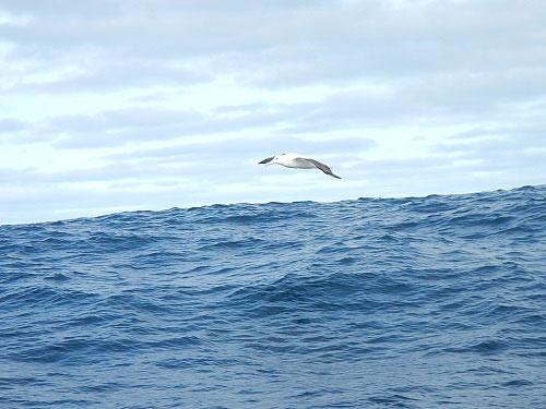 albatross_500