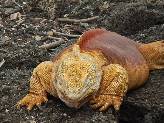 land_iguana_550