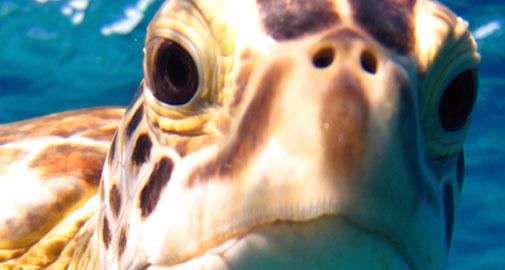 sea_turtle_505