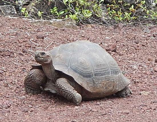 tortoise1_550